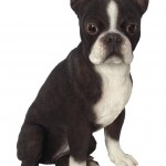 Vivid Arts Real Life Boston Terrier – Size A