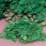 Giant of Italy Organic Parsley Seeds