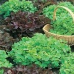 Salad Bowl Red & Green Mixed Lettuce Seeds