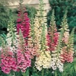 Excelsior Mixed Foxglove Seeds