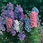 Hyacinth Dwarf Mixed Larkspur Seeds