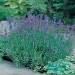 Munstead Strain Lavender Seeds