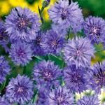 Blue Ball Cornflower Seeds