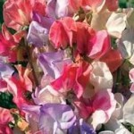 Incense Mixed Sweet Pea Seeds
