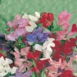 Cuthbertson Mixed Sweet Pea Seeds