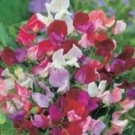 Old Spice Mixed Sweet Pea Seeds