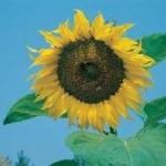 Giant Single Sunflower Seeds