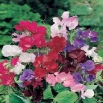 Bouquet Mixed Sweet Pea Seeds