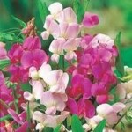 Perennial Everlasting Mixed Sweet Pea Seeds