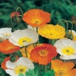 Iceland Mixed Colours Poppy Seeds