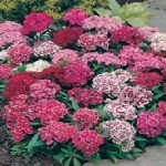 Monarch Mixed Sweet William Seeds