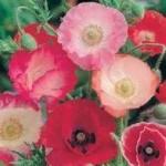 Shirley Single Mixed Poppy Seeds