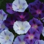 Hazelwood Blues Morning Glory Seeds