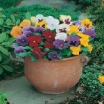 Early Flowering Mixed Pansy Seeds