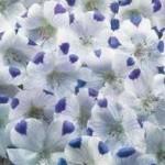 Maculata Five Spot Nemophila Seeds