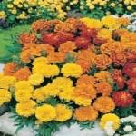 Dwarf Double Mixed Marigold Seeds