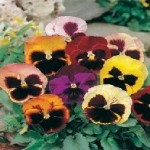 Swiss Giants Mixed Pansy Seeds
