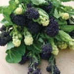 Fothergills BROCCOLI (Sprouting) Lancer Mixed Seeds