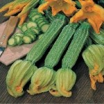 Fothergills COURGETTE Romanesco Seeds