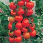 Fothergills TOMATO Alicante Seeds