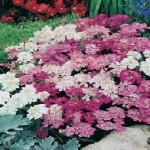 Country Value CANDYTUFT Fairy Mixed Seeds
