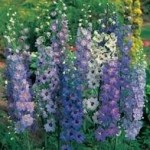 Country Value DELPHINIUM Pacific Giants Mixed Seeds