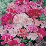 Country Value GODETIA Dwarf Mixed Seeds