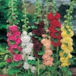 Country Value HOLLYHOCK Double Mixed Seeds