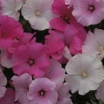 Country Value LAVATERA Pastel Mixed Seeds