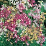 Country Value LINARIA Fairy Bouquet Mixed Seeds