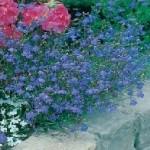 Country Value LOBELIA (Trailing) Sapphire Seeds