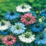 Country Value LOVE IN A MIST Persian Jewels Seeds