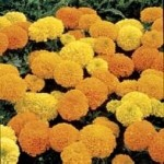 Country Value MARIGOLD (African) Double Mixed Seeds