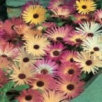 Country Value MESEMBRYANTHEMUM Mixed Seeds