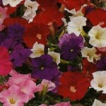 Country Value PETUNIA Bedding Mixed Seeds