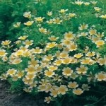 Country Value POACHED EGG PLANT Seeds