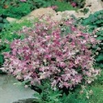 Country Value STOCK Night Scented Seeds