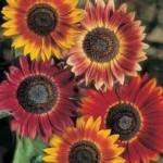 Country Value SUNFLOWER Evening Sun Seeds
