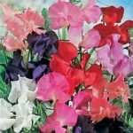 Country Value SWEET PEA Spencer Mixed Seeds