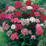 Country Value SWEET WILLIAM Single Mixed Seeds