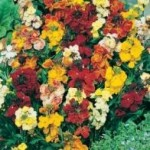 Country Value WALLFLOWER Monarch Fair Lady Seeds